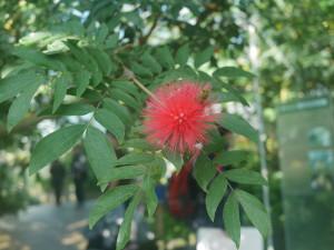 Calliandra haematocephala.